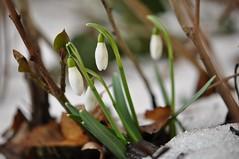 Lumikellukesed naistepäevaks (anuwintschalek) Tags: nikond90 85mm micronikkor austria niederösterreich wienerneustadt aed garten garden march kevad frühling spring 2018 lumikellukesed snowdrops schneeglöckchen lumi schnee snow sula thaw tauwetter