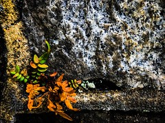 No matter the circumstances, life will always find a way. (sqrootof5) Tags: growth leaf grey cement rock stone wall green leaves plant iphoneography iphone7plus