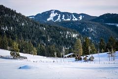 Tree farm (Jessie T*) Tags: paullakeroad kamloopsbc canada ranch barn cattle snow winter mountainside forest tree fence corral skiarea harpermountain