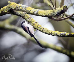 LONG-TAILED TIT 4 (Nigel Bewley) Tags: longtailedtit aegithaloscaudatus ealing london england uk spring wildlife naturalhistory greatoutdoors wildlifephotography endangeredwildlife bird birds avian birdlife distinguishedbirds birdwatcher creativephotography artphotography unlimitedphotos march march2018 nigelbewley photologo rspb bto springwatch moss lichen