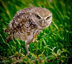 Owl Wave (John McCuen Photography) Tags: h 400mm spook him