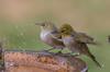 silvereye  (Zosterops lateralis)-1766 (rawshorty) Tags: rawshorty birds australia canberra act symonston
