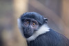 The Eyes Have It (johnkaysleftleg) Tags: lhoestsmonkey cercopithecuslhoesti threatenedspecies edinburghzoo canon760d canonef70200mmf4lusm