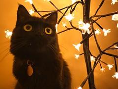 Black and Lights (rfellipe) Tags: catmoments gatopreto negro blackcat lights flowers luminária luzes