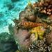 orangestripefish