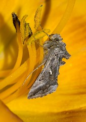 Silver Y (Jaedde & Sis) Tags: gammaugle moth autographagamma silvery yellow insect grey gray challengeyouwinner cyunanimous friendlychallenges