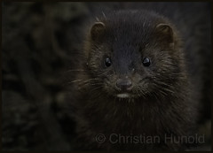 american mink (Christian Hunold) Tags: americanmink mink mustelid nerz mammal marten johnheinznwr philadelphia christianhunold