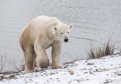 Nobby (Kerry711) Tags: 75300mm a77 alpha animal arcticcircle bear doncaster england lens minolta park polar sony southyorkshire wildlife yorkshire wild