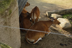 Chester Zoo Islands (448) (rs1979) Tags: chesterzoo zoo chester islands banteng