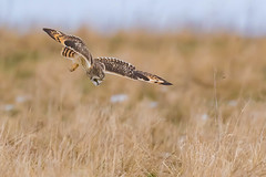 Short Eared Owl - Going Down (PIX SW) Tags: owl seo shorty shortie shortearedowl explore