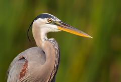 Great Blue Heron - Florida (Randy Lowden) Tags: greatblueheron florida randylowden canon