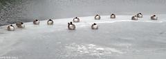 Twelve Frozen Geese (peterphotographic) Tags: p3020298edwm twelvefrozengeese olympus tg5 tough ©peterhall hollowponds walthamstow wanstead snaresbrook eppingforest eastlondon london england uk britain goose geese bird wildlife twelve 12 freeze frozen ice winter cold snow water pond lake