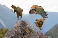 Kea (Eric Gofreed) Tags: kea newzealand parrot