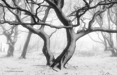 Frame Filler II (calderdalefoto) Tags: tree trees fog winter snow mist