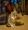 Biscuit (aka Whiskerbisky) (RPStrick) Tags: biscuit kitty leica m262 50mm summicronm f2 sitting tennis ball chewed furry