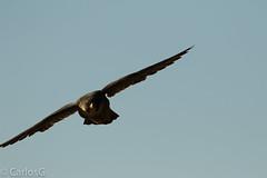 peregrine falcon (Falco peregrinus), also known as the peregrine, (Gogolac) Tags: 2017 aves birdphotography birdie birds falcoperegrinus fauna location ny newyork palisadestatepark park peregrinefalcon statepark usa year birdspot birdsspotters fotografiasrealizadasenel2017 falco peregrin falcon