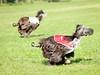 CoursingVillaverla2016w-077 (Jessica Sola - Overlook) Tags: dogs sighthounds afghanhounds greyhounds saluki barzoi italiangreyhounds irishwolfhounds lurecoursing lure race run dograces field greengrass