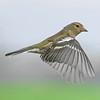 Pinson A6504505_DxO (jackez2010) Tags: ilce6500 fe100400mmf4556gmoss bif birdinflight pinsondesarbres