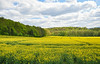 Open Space (phagileo) Tags: coneflower rapeseed field countryside yellow sky blue ultrawide spring