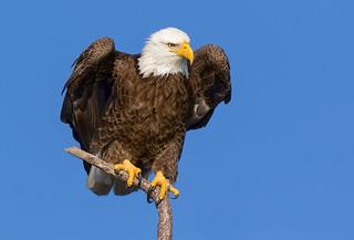 American Bald Eagle - Florida