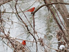 cardinals P1270477_DxO (chris keats) Tags: cardinal northerncardinal minolta rokkor minoltamctelerokkorqf200mmf35
