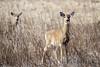 White-Tailed Deer (Odocoileus virginianus) (iecharleton) Tags: whitetaileddeer whitetail deer odocoileusvirginianus sachuesetpointnationalwildliferefuge sachuestpoint departmentoftheinterior park animal mammal outdoors rhodeisland dof depthoffield field grass