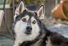 Luca (raphinho10) Tags: siberian husky dog black white sonyalpha6500 sony