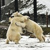 Tackle (dan487175) Tags: polarbears playing fight snow paws claws fun cold white whitefur myfavouriteanimal