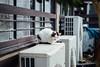 仙台 (benageXYZ-邊) Tags: japan sendai travel cat benagexyz 日本 貓 仙台 neko nikon d810