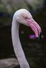 Head, Greater Flamingo, Birds of Eden, Plettenberg Bay (Peter Cook UK) Tags: garden flamingo route head beak greater phoenicopterus africa bay birds tour plettenberg eden roseus south