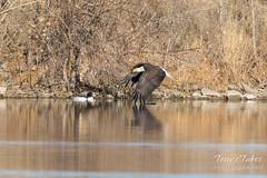 Low flying Bald Eagle