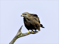 Common Buzzard. Crop from full image. (Ken near Duras) Tags: leteich birds bassindarcachon olympusem1 canon400mmf56l metaboneseftomft