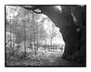 Behind the Oak (Summicron20/20) Tags: gandolfi universal tailboard camera whole plate 65x85 schneider symmar 240mm f56 kodak 400tmy tmax 400 xtol 11