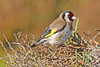 Goldfinch (Roy Lowry) Tags: goldfinch riaformosa faro cardueliscarduelis