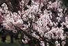 春爛漫 Spring full bloom (eyawlk60) Tags: spring bloom ume plum osaka park 梅 梅林 大阪 春 公園 大阪城公園 満開 早春 japan
