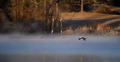 Misty Lake & Heron (Chamblin1) Tags: greatblueheron lake mist birds colorado winter ducks wooden pelicans