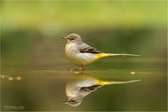 Mirror image of a Grey Wagtail (Gertj123) Tags: bird water fall holterberg hide netherlands nature arjantroost animal yellow green bokeh reflection canon sigma120300mmf28