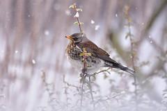 Fieldfare (Tardus pilaris) (MarkYoud) Tags: snow birds wildlife goldcrest fieldfare redwing devon