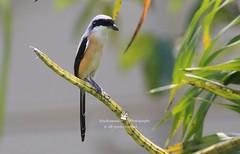 6F8A1661  Long Tailed Shrike ,,,, (EricBronson's Photography) Tags: longtailedshrike bird nature