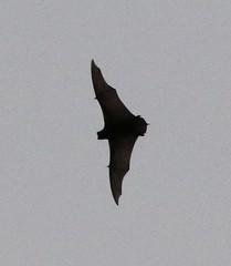 free-tailed bat sp. (tombenson76) Tags: bat cozumel mexico yucatan