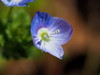 Veronica persica flowers (オオイヌノフグリ) (Greg Peterson in Japan) Tags: 梅 shiga hayashi plants 栗東市 ritto japan plumblossoms 植物 花 flowers 滋賀県 shigaprefecture