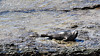 SantaCruz-38 (rachelle.haun) Tags: seal rock wildlife ocean blubber chillin