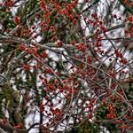 Maple Tree Flowers thumbnail