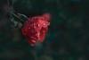 pluie rose (christophe.laigle) Tags: rose bokeh christophelaigle fleur macro gouttes nature flower fuji colours couleurs drops xpro2 xf60mm pluie