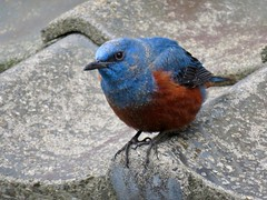 Blue rock thrush (jubewakayama) Tags: birding nature blue rock thrush monticola solitarius philippensis