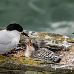 White-fronted Tern family thumbnail