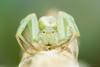 Misumenops sp. (Bruno Garcia Alvares) Tags: camera naturaleza march misumenopssp thomisidae spider spidersbrazil aranha aracnídeo arachnida aranhasdaamazônia aranhasbrasileiras aranhacaranguejo green white brunogarciaalvares macro macrofotografia macrofotography macromagister portrait contrast nature natureza canon canon600d mpe65mm beatiful beauty closeup brazil brazilianspiders mt24ex diydiffuser flash crabspider