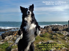 Hey! It's International Women's Day (ASHA THE BORDER COLLiE) Tags: international womens day 080318 standing your own two feet border collie bangor coastal path ashathestarofcountydown littledoglaughedstories