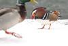 Mandarin Duck (steve whiteley) Tags: bird birdphotography wildlife wildlifephotography nature duck snow mandarinduck