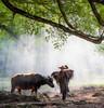 Toil (Hilton Chen) Tags: agriculture autumn fujianprovince yangjiaxi banyantrees lightbeams xiapucounty ningde farmer rural waterbuffalo china portraitinthelandscape ningdeshi fujiansheng cn